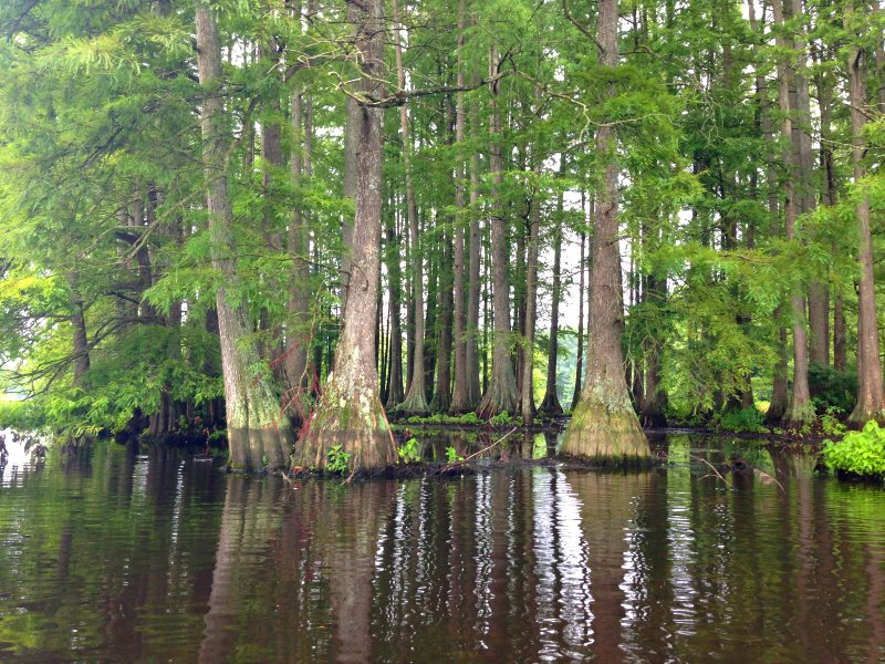 Cluster of bald cypress trees in Trap Pond State Park, Delaware. Photo: Kej605 via Wikimedia Commons (CC BY-SA).