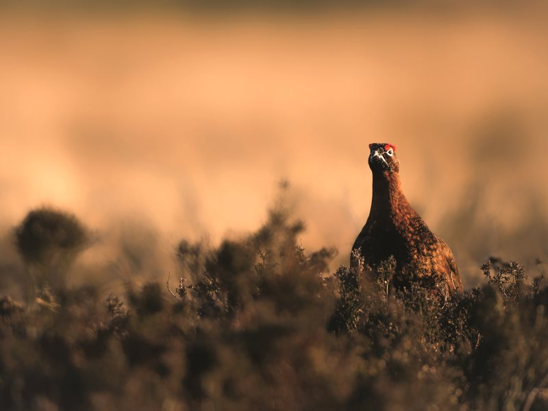 Thousands of hectares of precious upland ecosystems are stripped bare of wildlife and vegetation to make way for grouse - all so they can be shot for the entertainment of very rich people. Photo: League Against Cruel Sports.
