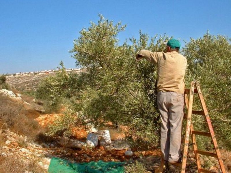 The olive harvest in the West Bank. Photo: Jonathan Cook.