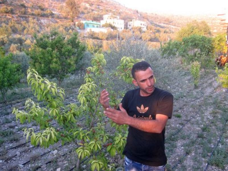 Palestinian farmer Khader Khader, who established a establish a Canaan Fair Trade cooperative in his village of Nisf Jubeil, is experimenting with fruit trees like apricot and plum. Photo: Jonathan Cook.