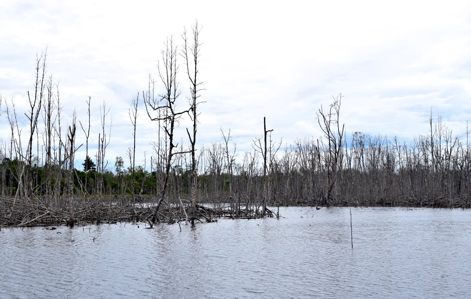 Dying mangroves on the banks of the Telaga river. Photo: Camilla Capasso / FPP.
