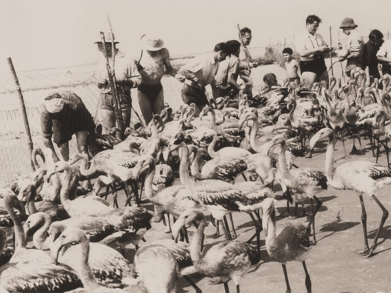 A young Luc Hoffman with flamingos. Photo: H.Hote-Agence Caméléon / Tour du Valat.