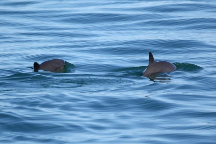 Vaquita swimming in the northern Gulf of California. Photo: (c) Todd Pusser via EIA.