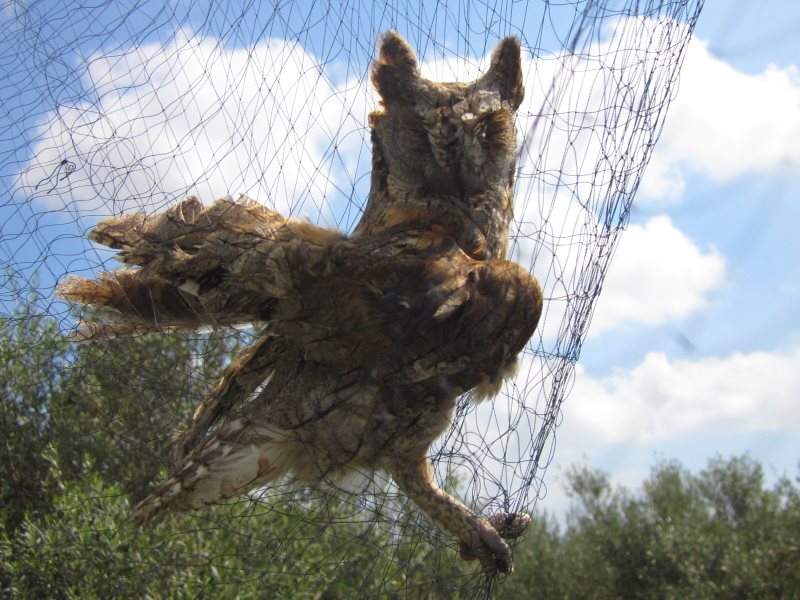 Scops Owl caught in a mist net on the British military base in Cyprus. Photo: RSPB / Birdlife Cyprus.