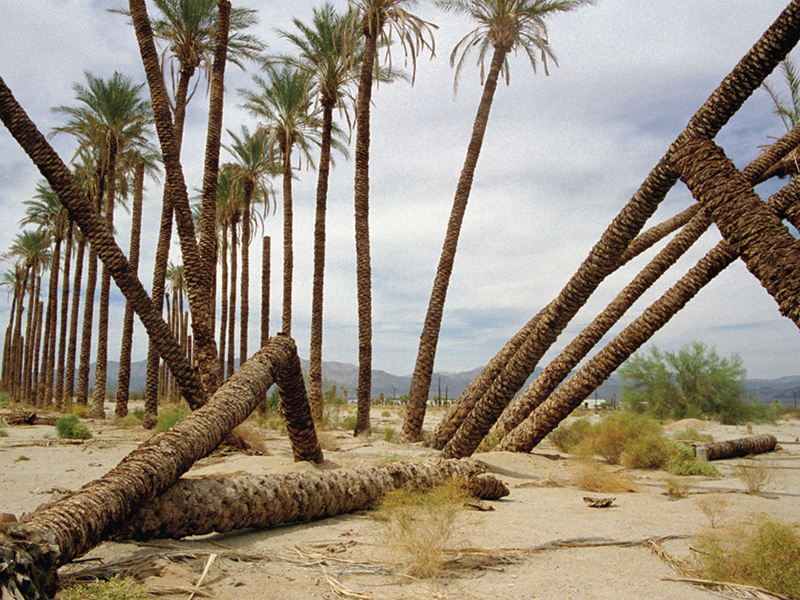 Toppled Palms