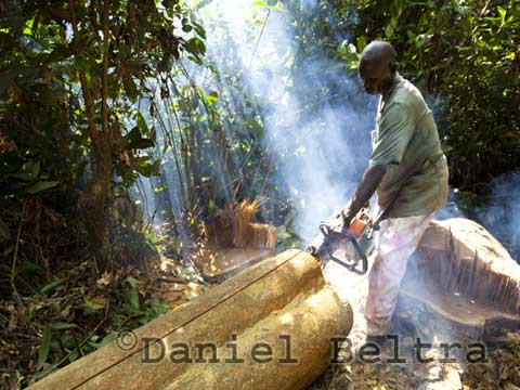 A logger lumbers an Afromosia (Pericopsys elata) tree in the Congo.  © Daniel Beltra, courtesy of The Prince's Rainforests Project and Sony