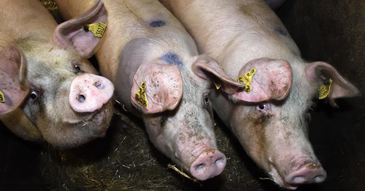 Superbug fears raised as British supermarket pig farms escalate use of crucial antibiotics