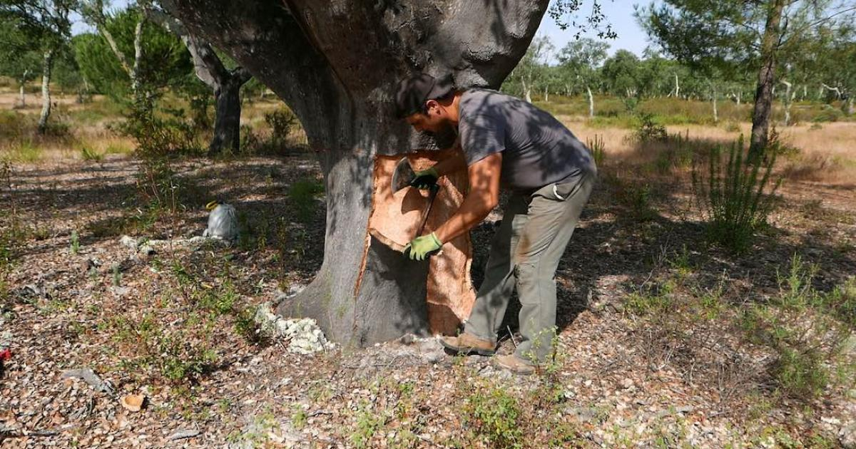Europe's cork oak forests 'ripe for expansion'