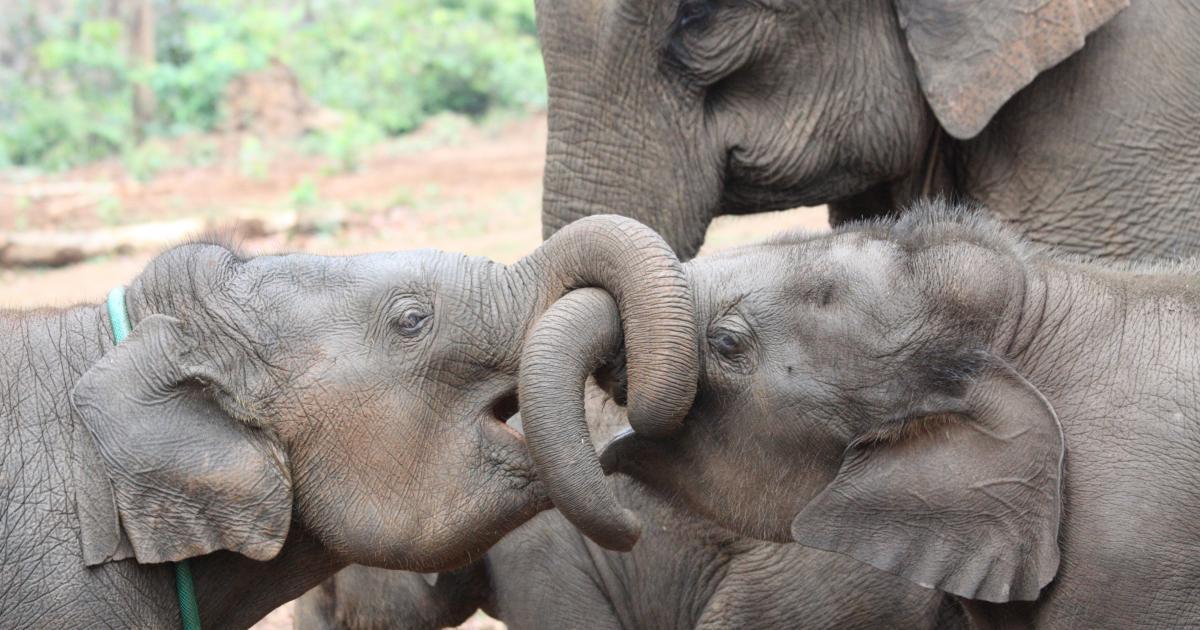 Elephants benefit from having older sisters