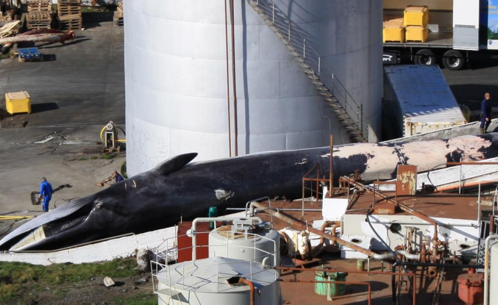 Iceland to resume hunting endangered fin whales