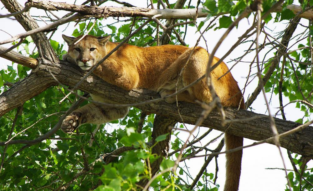 Mountain lions could help stop the spread of a fatal ...