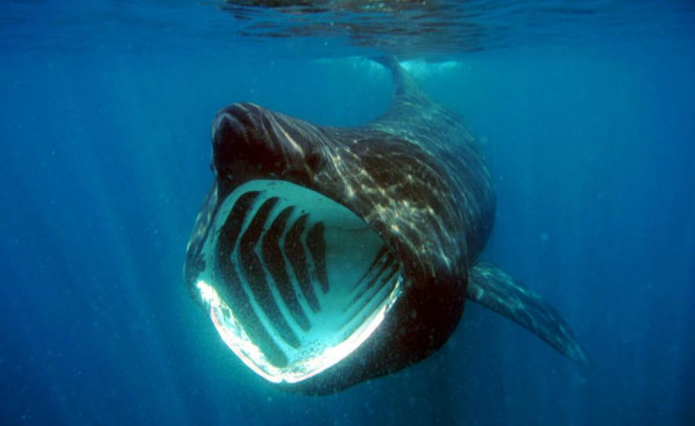 Basking sharks can jump as high and as fast as a great white