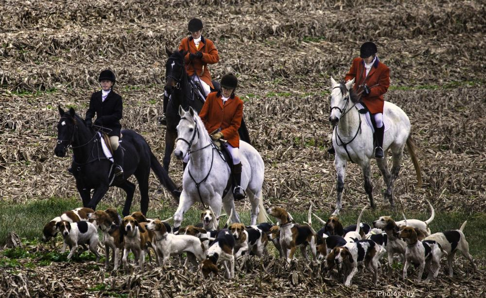 Horses and hounds on a hunt