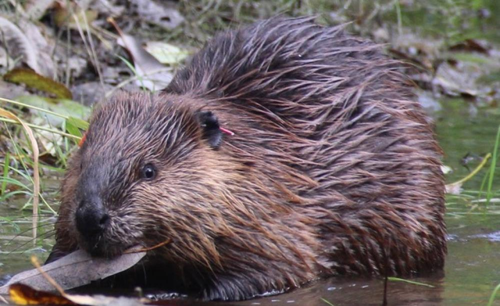 Beaver, Ecologist photo