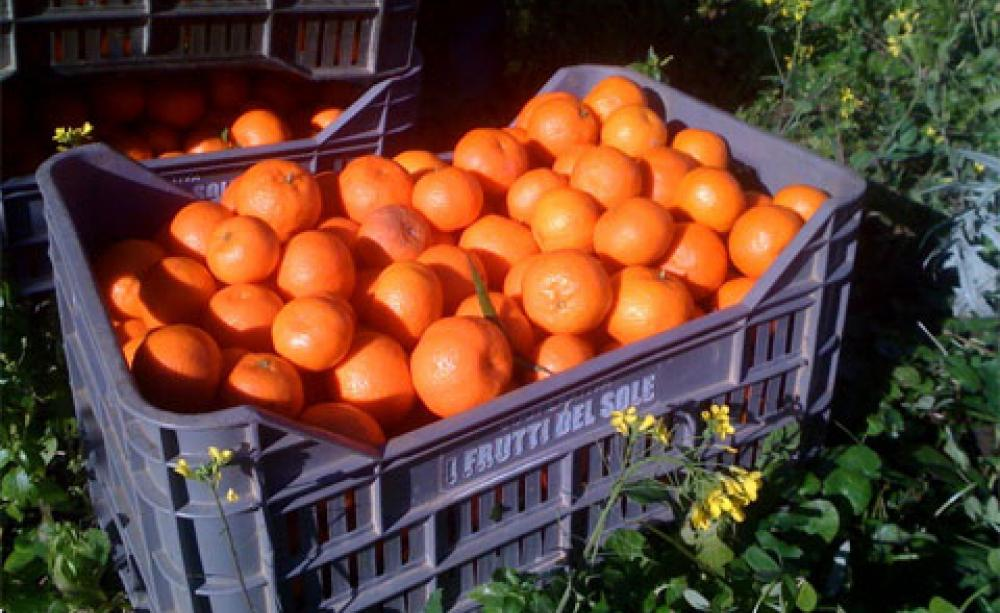 Oranges Harvested In The Rosarno Area Of Calabria Are Mainly Used For Juice Or Soft Drinks
