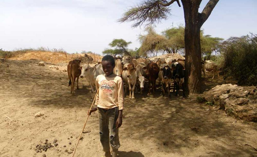 A Young Pastoralist With Cattle Children Often Work In Shifts Going To School When They Are Not Looking After Livestock