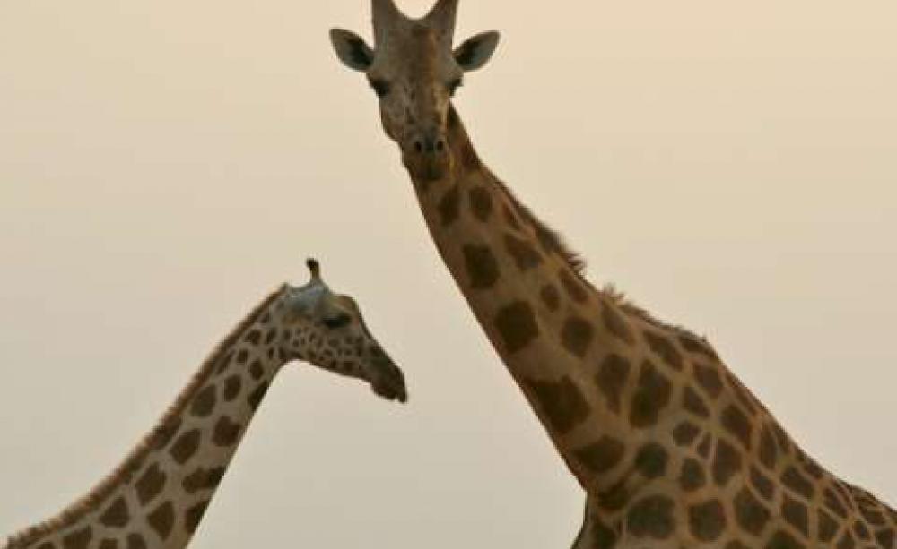 Fewer Than 400 West African Giraffes Survive Photo Giraffe Conservation Foundation