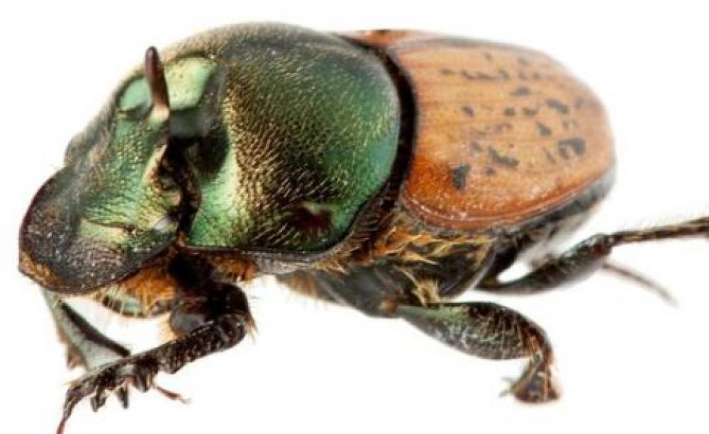 Australia - exotic beetles fly in to clean up the cattle dung