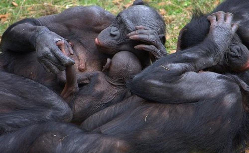 bonobo orgie