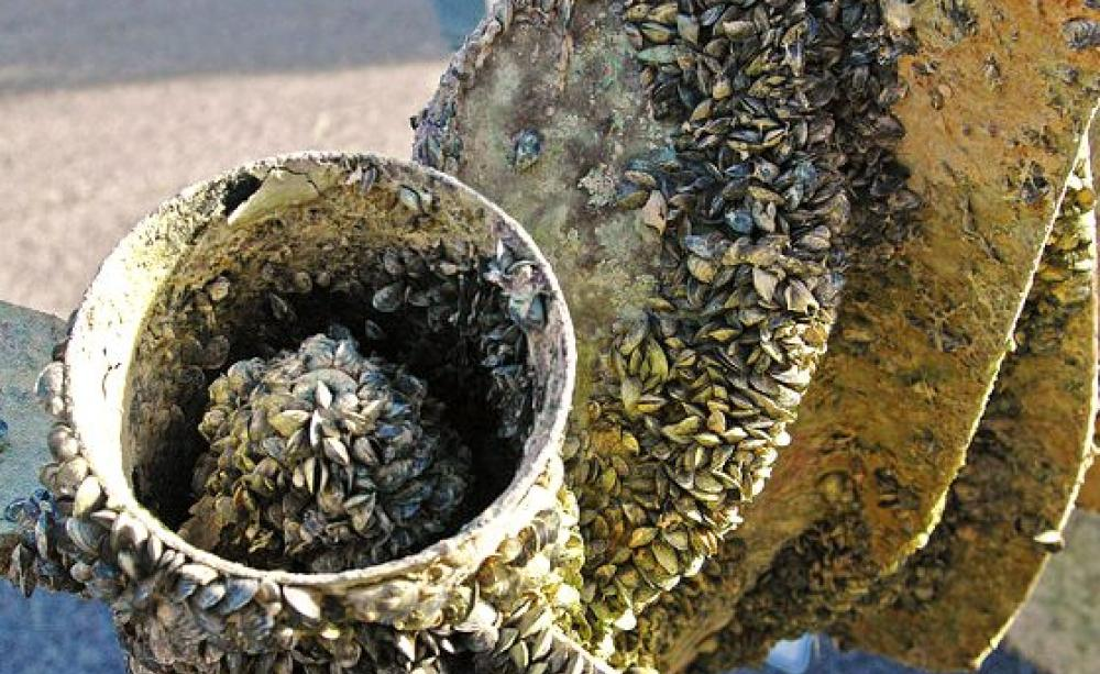 Don't move a mussel - a tiny invader is threatening our water and