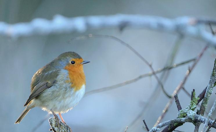 Robin Erithacus rubecula, adult bird perched on branch on frosty morning