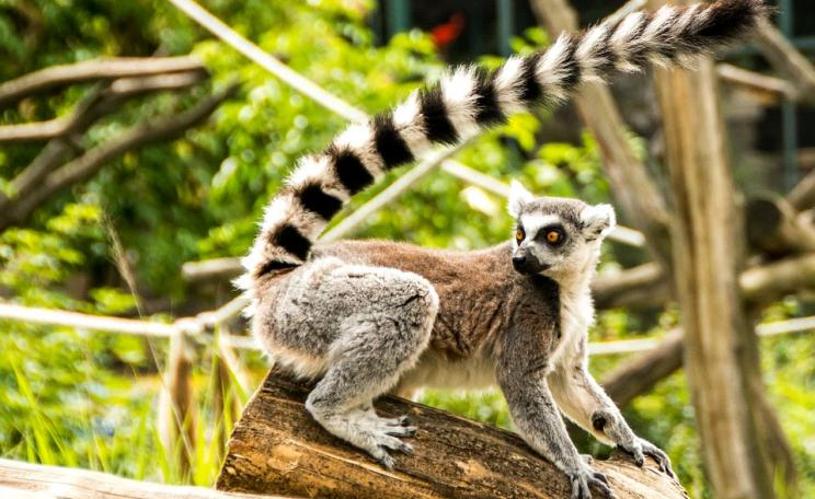The Lemur Catta Face Lemur is one of many animals endemic to Madagascar, where over 90% of its wildlife is found nowhere else on Earth.