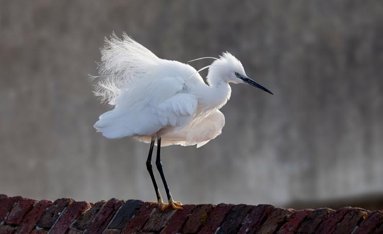 A little egret.
