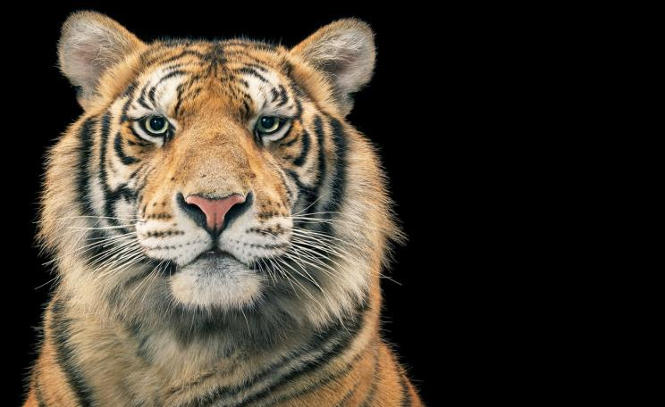 A tiger, lowkey photograph.