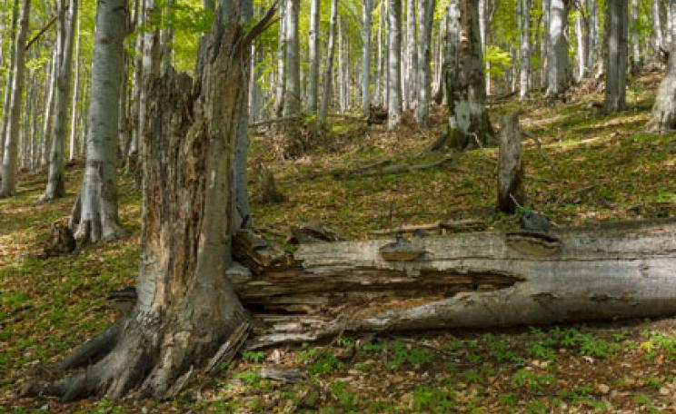 Old growth mountain beech forest in Domogled National Park