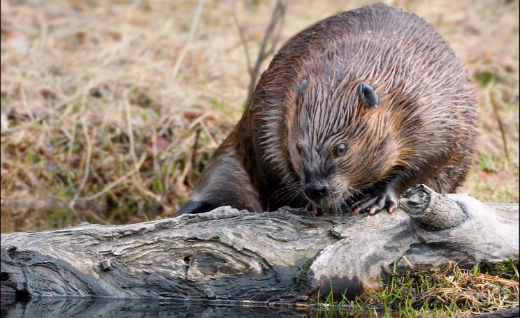 Beaver by a riverbank