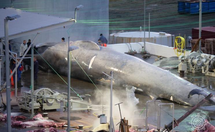 Whale being butchered