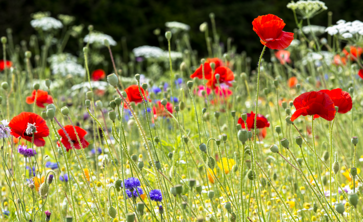 Poppies in a wildflower meadow