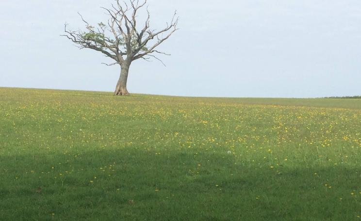 Tree in a field in Devon