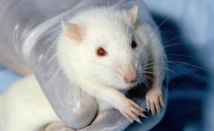 White laboratory rat held in a gloved hand
