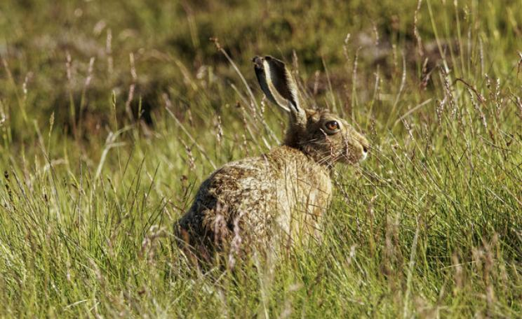Photograph of a mountain hare
