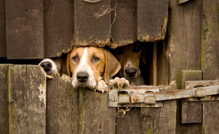 Hunting hounds looking through a barn on a farm.
