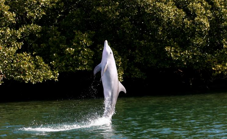Tail walking dolphin