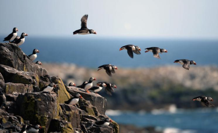 Puffins on the Farne Islands, England. Puffins are among four UK bird species now at risk of extinction