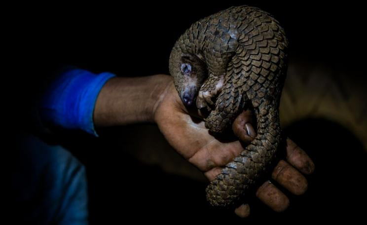 Pangolin held in a hand