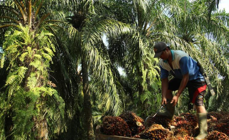 Oil palm fruit being loaded onto a truck in Sumatra, Indonesia