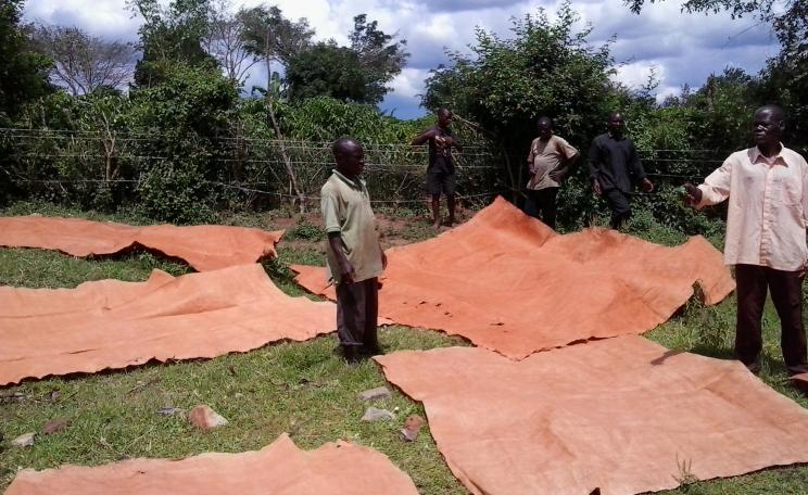 Bukomansimbi organic tree farmers association laying bark cloth to dry
