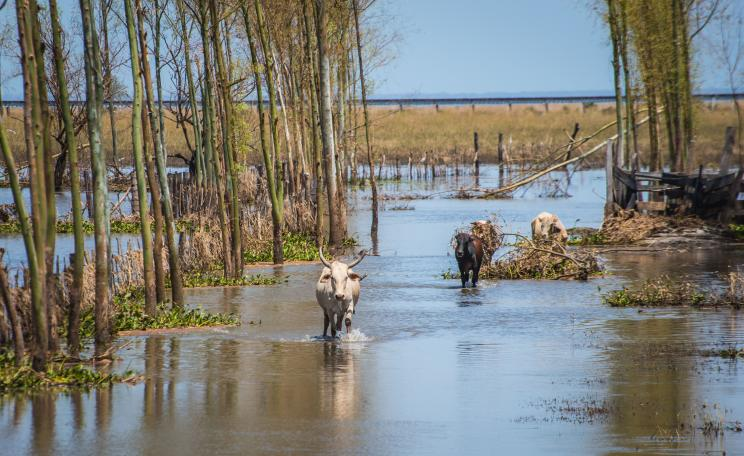 Cow walking through flooded plain