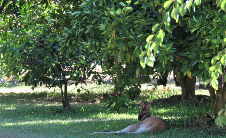A wallaby resting under an orange tree