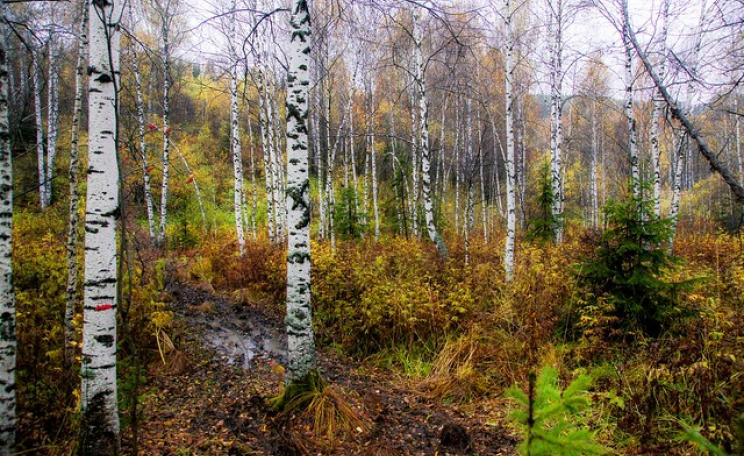 Birch trees in Siberian forest
