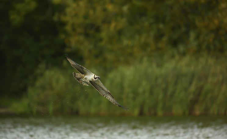 An Osprey fishes in Kielder Forest, Northumberland