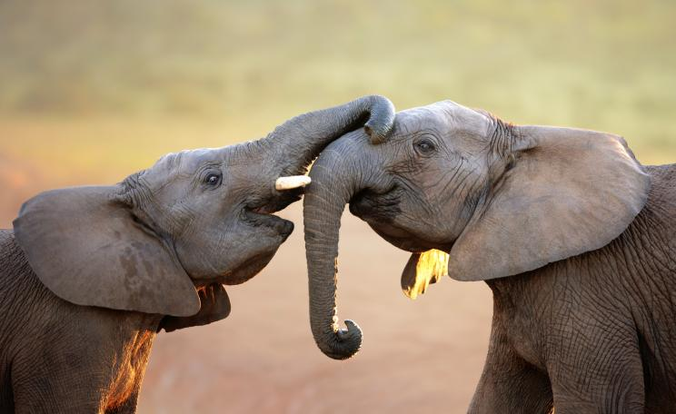 Two happy elephants greeting each other
