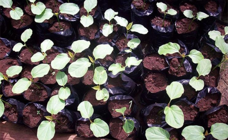 Jatropha curcas seedlings
