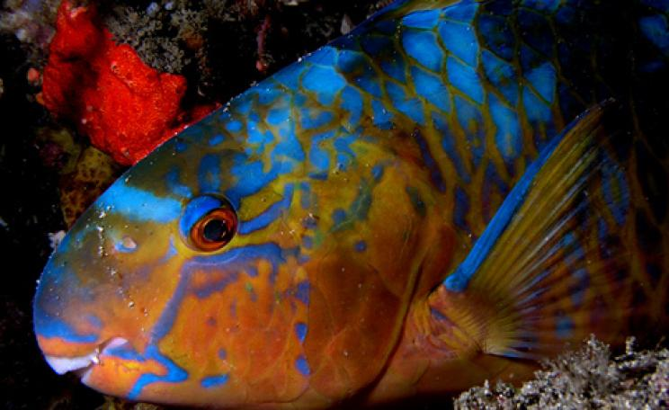 Parrotfish on North coast of East Timor