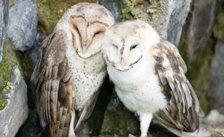cute barn owls