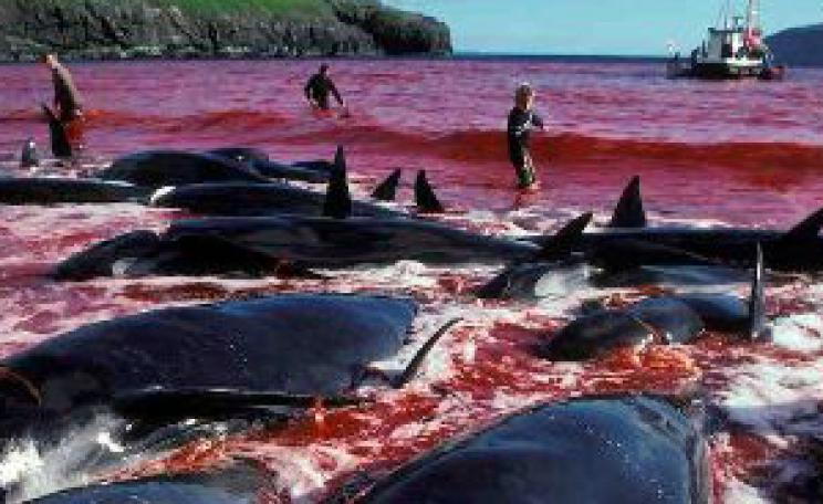 Slaughtered Pilot Whales